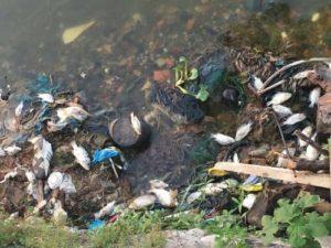 Cá chết hàng loạt hồ tây